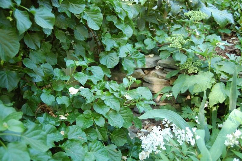 climbing hydrangea